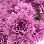 洋風菊 紫